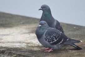 Porumbei voiajori si cei de ornament – curiozitati